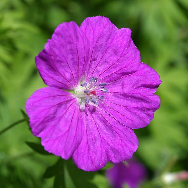 Lacy geranium