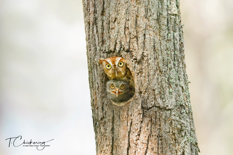 Eastern Screech Owl Red Morph with Owlet-1528419086062.jpg