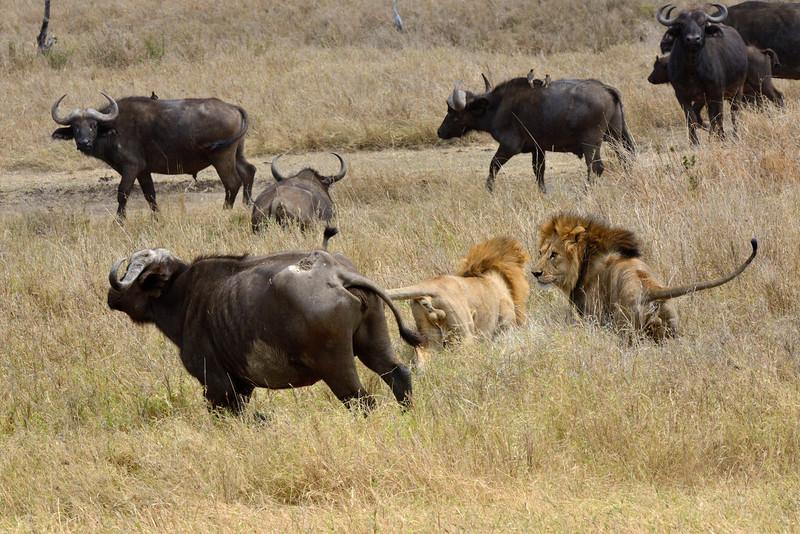 Buffaloes-chasing-Lions.jpg