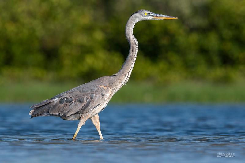 Great Blue Heron, Fort De Soto, St Petersburg, FL, USA, May 2018-1.jpg