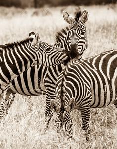 Zebra Zoo Illogical Project