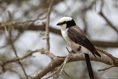 Hvitgumpvarsler(Northern white-crowned shrike)