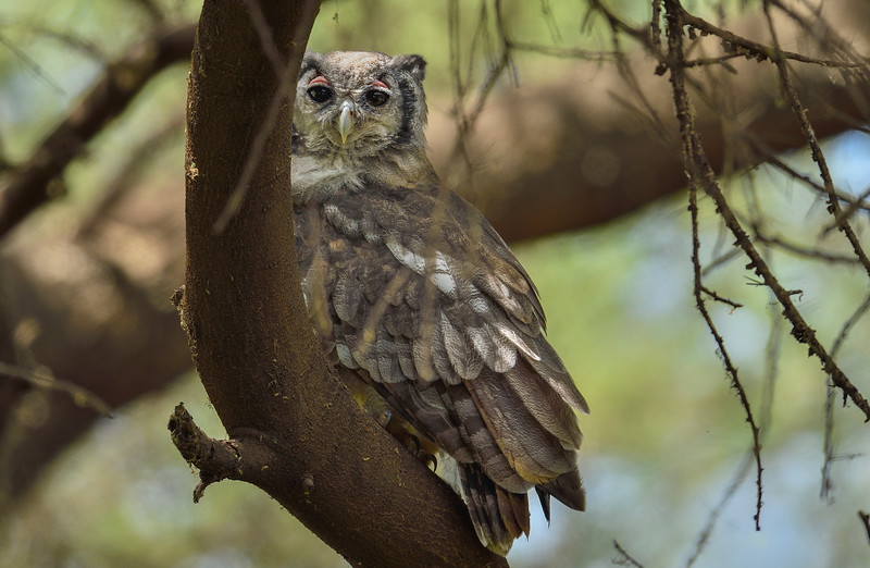 Verreaux-Eagle-Owl.jpg