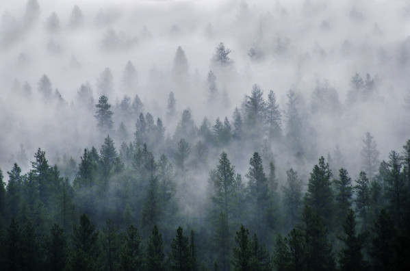 trees, forest, fog