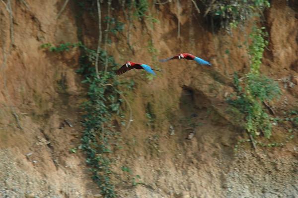 Scarlett Macaw Tambopata Peru