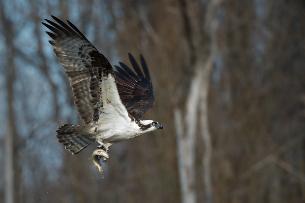 OSPREYS, EAGLES, HAWKS, OWL