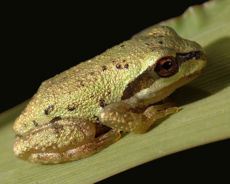 """Baby tree frog, this little guy is only about a 1/2"""" long and was sunning on a blade of grass."""