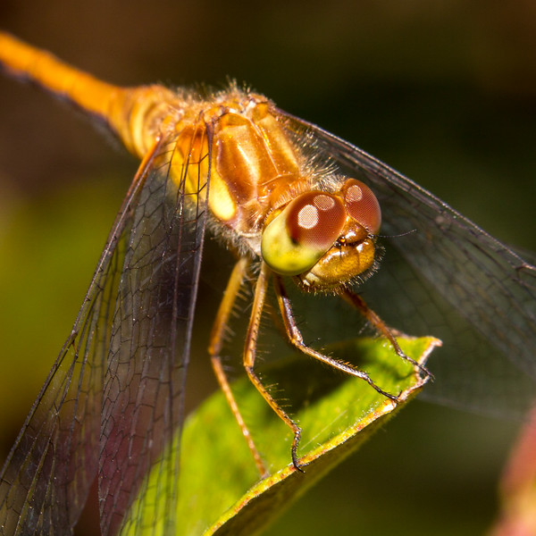 Orange Meadowhawk (Sympetrum spp.)