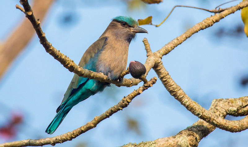 Indian roller, Bandhavgarh National Park, Madhya Pradesh, India.
