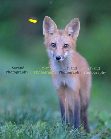 6-16-14 Fox n deer