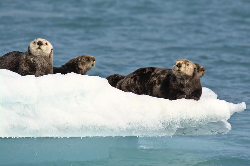 Sea Otters on Iceberg