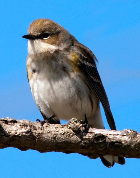 Yellow-rumped warbler in the Willlow Waterhole, Houston
