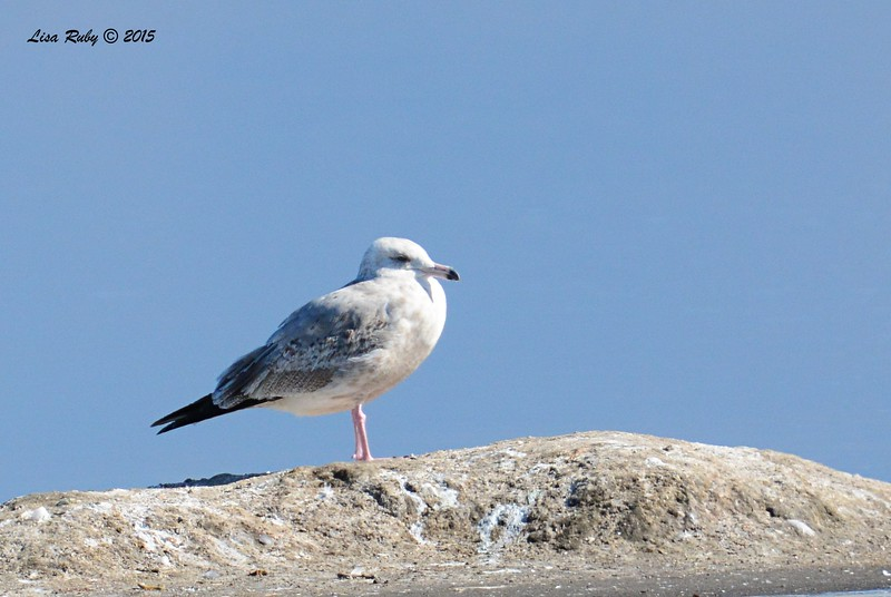 Immature Herring Gull - 1/17/2015 - Salt Works. Chula Vista