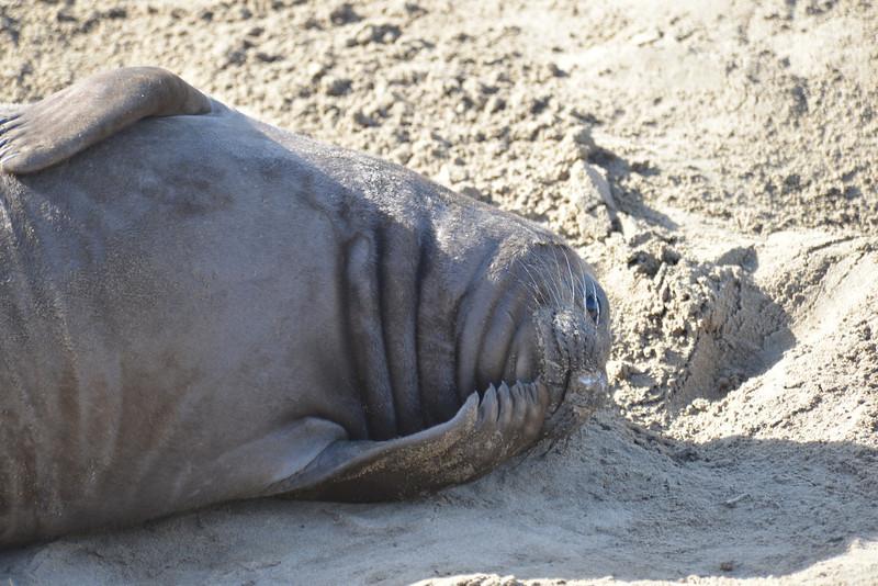 ano-nuevo-elephant-seals-2013 34.jpg