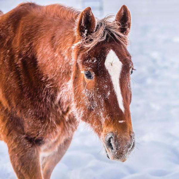 chestnut horse in snow.JPG