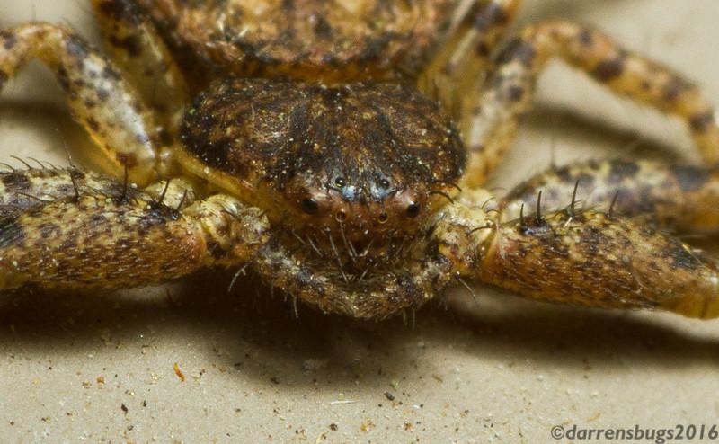 Bark crab spider, genus Bassaniana, up close (Iowa, USA).