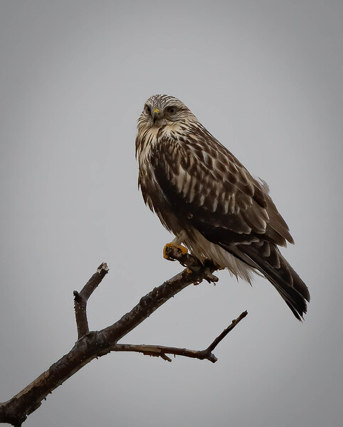Rough-legged Hawk wistful