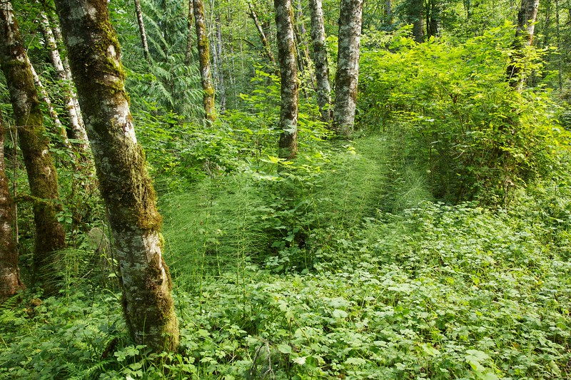 Lush forest and horsetails. Flaming Geyser State Park, Washington.