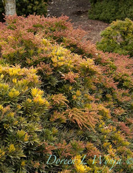 Pieris japonica 'Prelude' in winter_0559.jpg