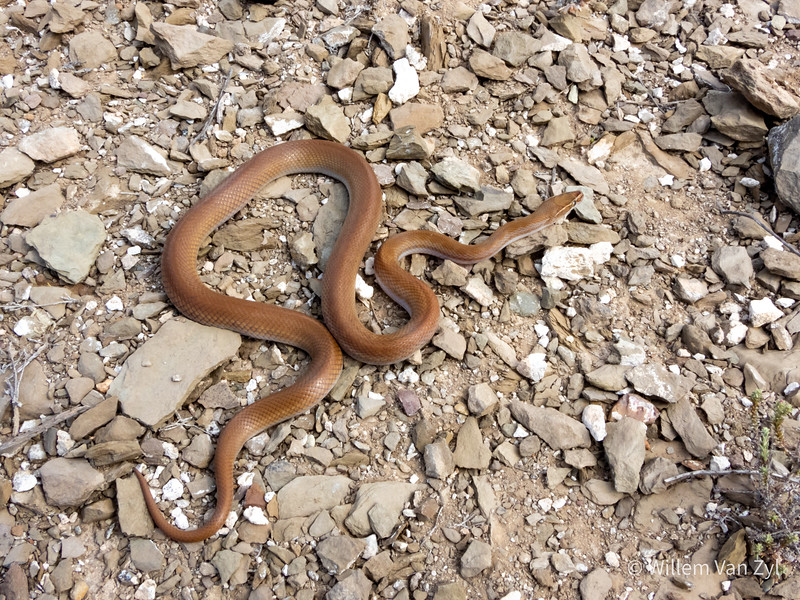 20191117 Brown House Snake (Boaedon capensis) from Montagu, Western Cape