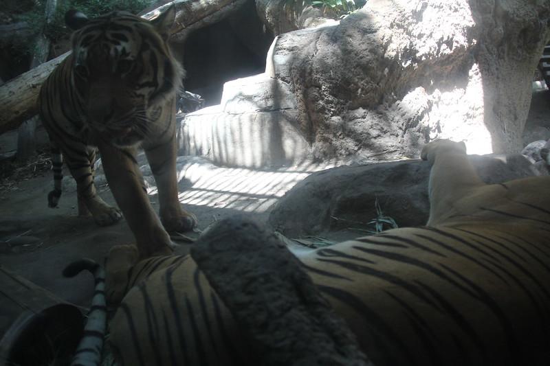 20170807-158 - San Diego Zoo - Tiger.JPG