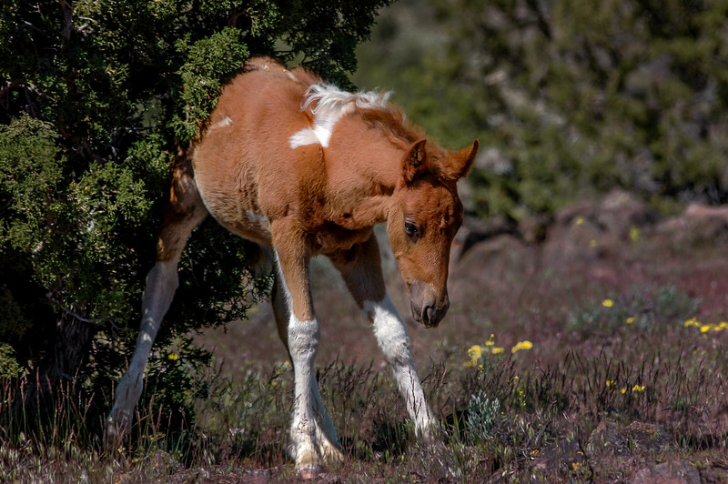 Wild Foal Scratching Back on Tree #1