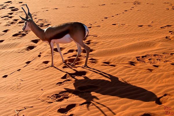 Springbok tour guide in Kalahari desert, Namibia 2