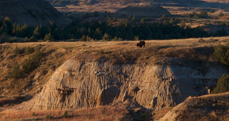 Bison in landscape Teddy Roosevelt NP ND IMG_0008746.jpg