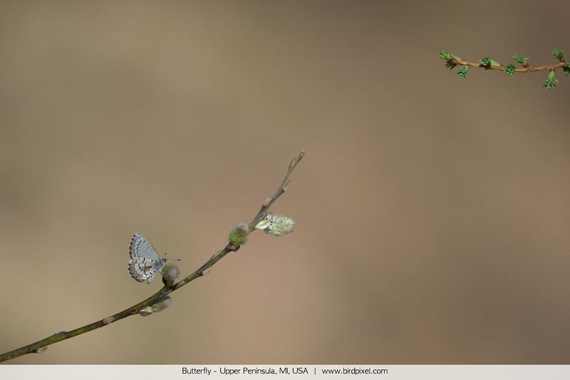 Butterfly - Upper Peninsula, MI, USA