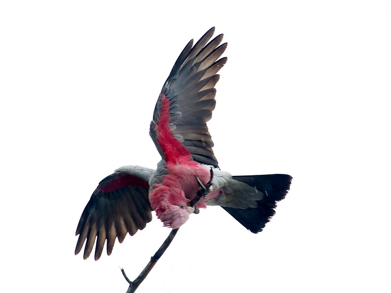 A Pink and Gray Galah performs for us.