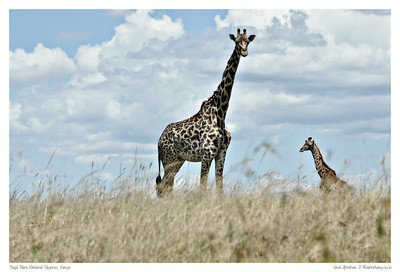 The Giraffe of Masai