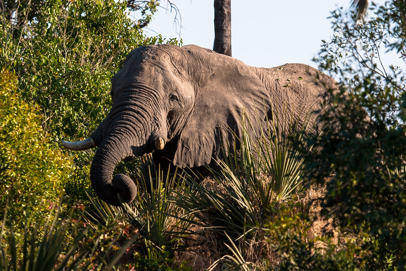 Elephant in the bush near our camp