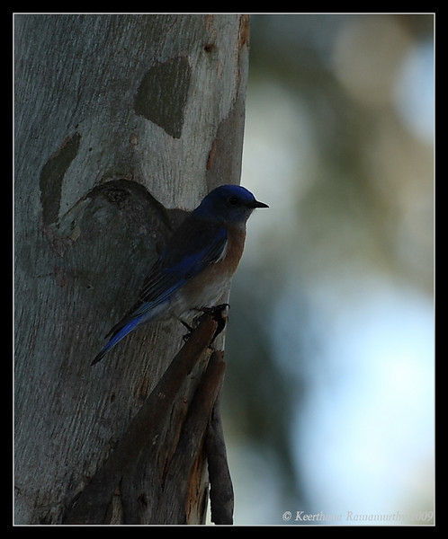Western Bluebird Male, San Dieguito County Park, San Diego County, California, January 2009