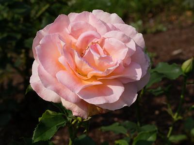 Elizabeth Park Rose Garden_June 24, 2013