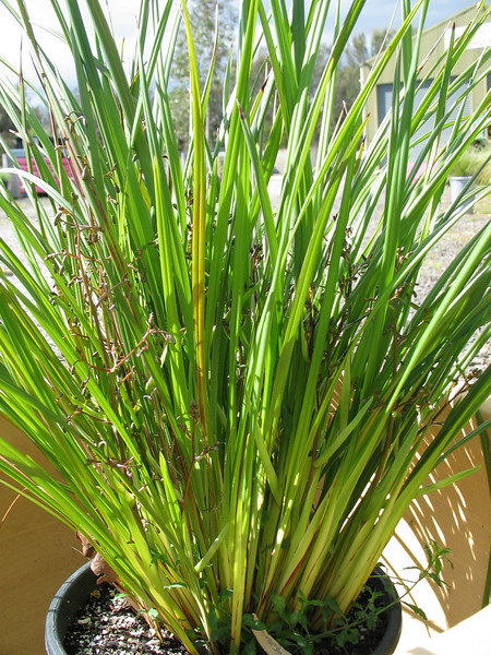 Dianella revoluta var brevicaulis / Black-anther or Spreading Flax-lily