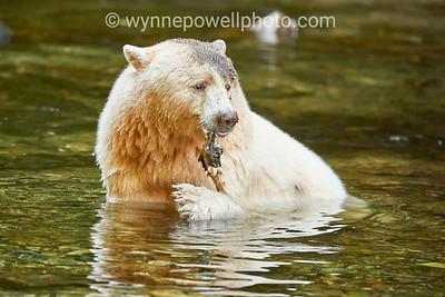 BC Rare Spirit Bears  near Hartley  Bay