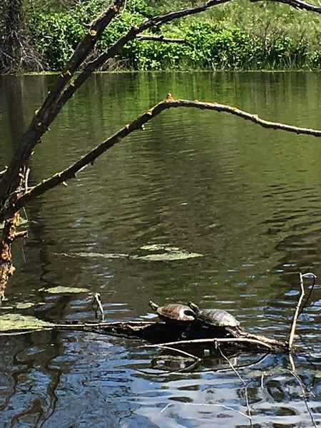 Turtles on the Lake