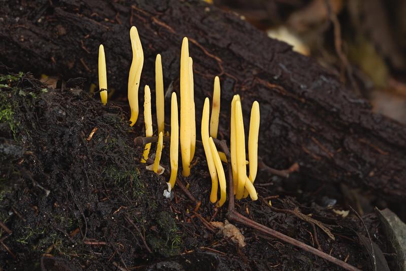 Clavulinopsis amoena