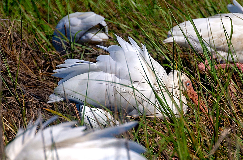 White Ibis settling in
