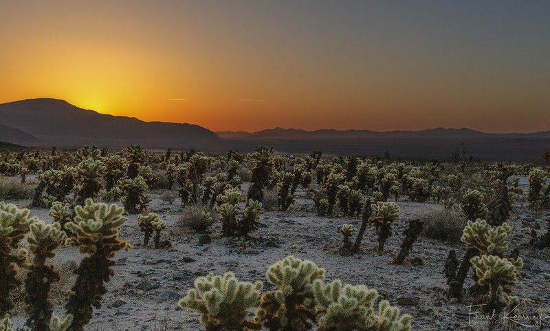Sunrise in the Cholla Garden - Joshua Tree National Park.jpg