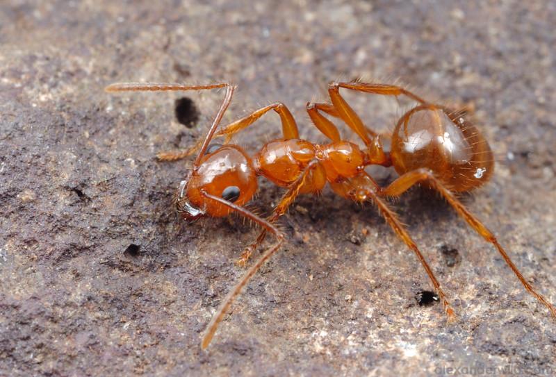 Notoncus spinisquamis