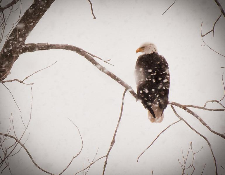 Eagle (close up), December 2010