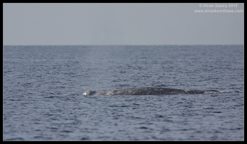 Gray Whale with spout, Whale Watching trip, San Diego County, California, January 2015