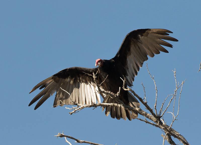 Turkey Vulture Lone Pine 2016 07 24-1.CR2