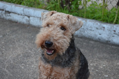 Cardiff the Welsh Terrier