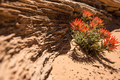 Wildflowers in Canyonlands National Park, UT