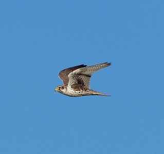 Prairie Falcon Falco mexicanus