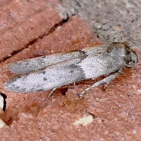 H01162  P179BlastobasisGlandulella-AcornM419 Mar. 29, 2019  9:52 a.m.  P1790419 We see Blastobasis glandulella, the Acorn Moth, frequently because the caterpillars feed onour plentiful acorns. BG also lists hickory so that may include pecans, another common nut, though more confined to streamsides.  Blastobasid.