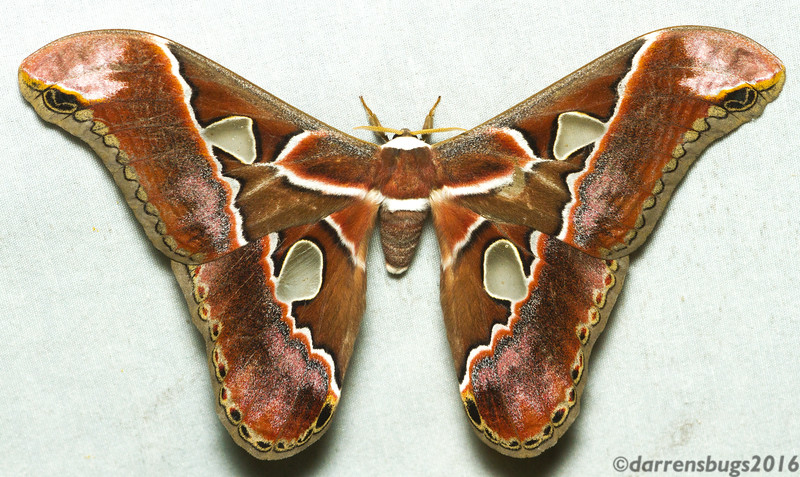 Definitely the moth of the week from the Panama trip (Rothschildia sp).