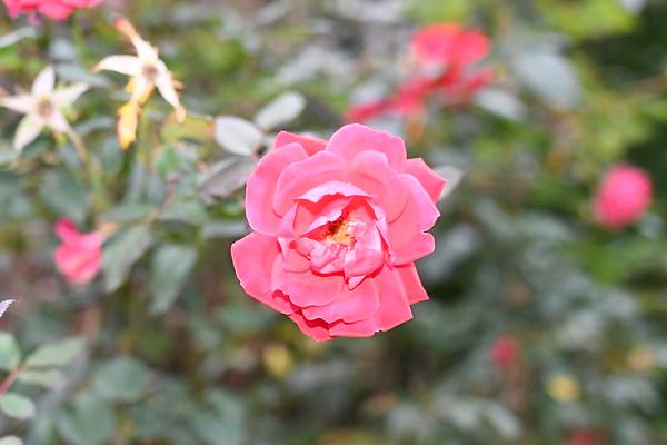 2020 Rose